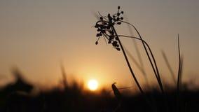 La sombra de la flor cuando la puesta del sol Fotografía de archivo