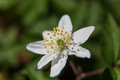 La sorgente è venuto Macro del fiore del giacimento della primavera Fotografie Stock