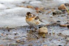 La sorgente è venuto Uccelli migratori arrivati Fotografie Stock Libere da Diritti