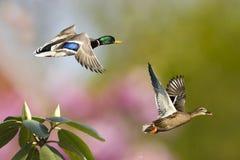 La sorgente Ducks durante il volo Fotografie Stock Libere da Diritti