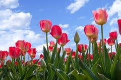 La sorgente fiorisce i tulipani in cielo blu Fotografie Stock Libere da Diritti