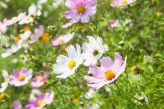 La sorgente fiorisce il fondo Fotografia Stock