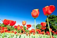 La source fleurit, des tulipes dans le ciel bleu Photos stock
