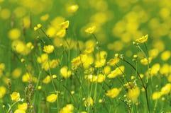 La source jaune fleurit le plan rapproché Photo stock