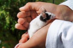 La souris blanche d'animal familier s'est tenue dans des mains du ` s d'enfant images libres de droits