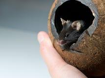 La souris curieuse regarde à l'extérieur Photo stock