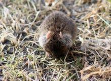 La souris de champ Images libres de droits
