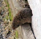 La souris de champ Image stock