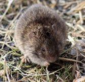 La souris de champ Photographie stock