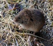 La souris de champ Images stock