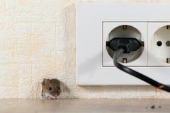 La souris de plan rapproché piaule hors d'un trou dans le mur avec le débouché électrique Photographie stock