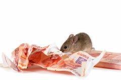 La souris de plan rapproché ronge des billets de banque sur la pile de l'argent liquide sur le fond blanc Photo stock