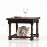 La souris dine à la table Photo stock