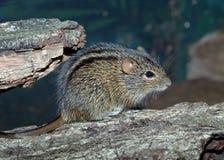 La souris rayée africaine d'herbe Photographie stock