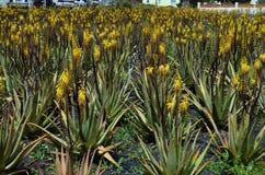 La Spagna, Isole Canarie, Fuerteventura, botanica Fotografia Stock