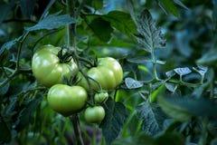 La spazzola versa i pomodori verdi Fotografia Stock
