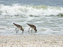 La spiaggia di Florida, Madera, due spara da un nascondiglio l'alimento di ricerche sulla spiaggia fotografia stock