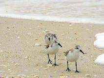 La spiaggia di Florida, Madera, tre spara da un nascondiglio l'alimento di ricerche sulla spiaggia fotografie stock