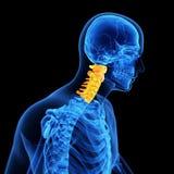 La spina dorsale cervicale Immagine Stock