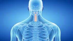 La spina dorsale cervicale video d archivio
