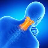 La spina dorsale cervicale umana Fotografia Stock Libera da Diritti