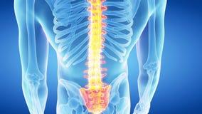 La spina dorsale umana video d archivio