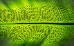 La spora della foglia verde della felce Immagine Stock