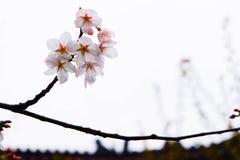 La stagione di Sakura Fotografie Stock Libere da Diritti