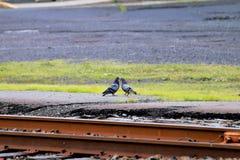 La station pour dire au revoir entre eux des pigeons Photos stock