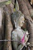 La statua di Buddha bloccata in albero si pianta al parco storico, Tailandia Fotografia Stock