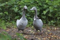 La statue des canards de couples sont en parc Images libres de droits