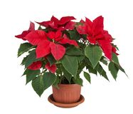La stella di Natale o il Natale star in un vaso su un fondo bianco Fotografia Stock