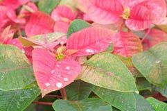 La stella di Natale rossa fiorisce il primo piano Fotografie Stock