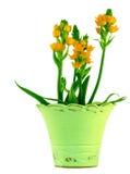 La stella di Sun fiorisce il POT di verde del ~ Immagini Stock Libere da Diritti
