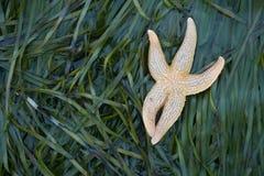 La stella marina di Оne si trova sulle alghe verdi Assomiglia ad un piccolo divertente Immagine Stock