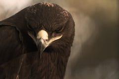 La steppe Eagle Photos stock