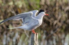 La sterna è un uccello degli uccelli acquatici, il gabbiano Fotografia Stock