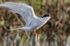 La sterna è un uccello degli uccelli acquatici, il gabbiano Fotografie Stock