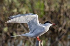La sterna è un uccello degli uccelli acquatici, il gabbiano Fotografie Stock Libere da Diritti