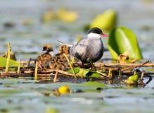 La sterne barbue avec des poussins sur la lumière du soleil douce de début de la matinée de nid Photos stock