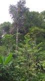 La stessa foto treval dell'albero di amazon Fotografia Stock Libera da Diritti