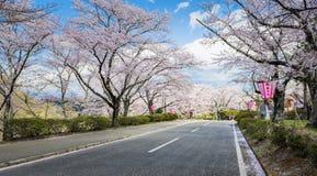 La strada con Sakura Trees al castello di Funaoka rovina il parco, Sendai, Giappone immagini stock