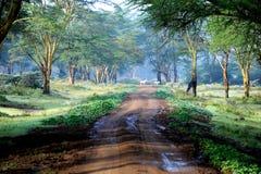 La strada in foresta misteriosa con poca zebra. Fotografie Stock Libere da Diritti