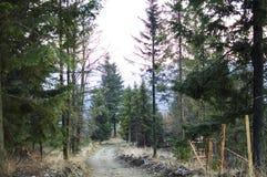 La strada in una foresta del pino Fotografia Stock