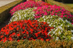 La strada variopinta della Nuova Guinea fiorisce in un giardino Fotografia Stock Libera da Diritti