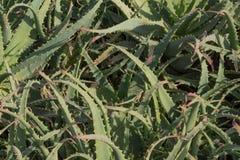 La struttura del fondo del rosa ha fornito di punta le foglie succulenti verdi dell'aloe Immagine Stock