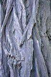 La struttura dell'acacia bianca Immagine Stock
