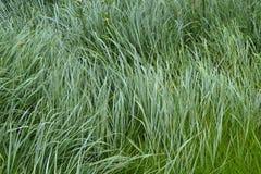 La struttura dell'erba alta bagnata Fotografia Stock Libera da Diritti