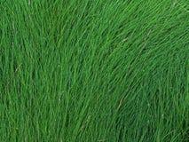 La struttura dell'erba alta bagnata Immagini Stock