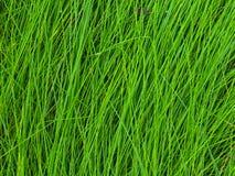 La struttura dell'erba alta bagnata Immagini Stock Libere da Diritti